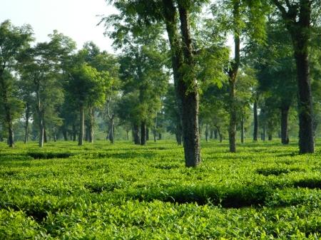 a_tea_garden_in_dibrugarh